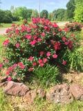 Взгляд куста роз на восточном Техасе стоковое фото rf