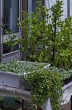 Взгляд лета Sideritis Scardica травы, чая горы, растя в саде на городке Delchevo горы, Македония стоковые фотографии rf