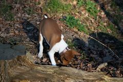 Взгляд лицевой стороны щенка basenji 2 тонов обнюхивая на земле леса внутри meppen emsland Германия стоковые фото