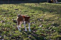 Взгляд лицевой стороны щенка basenji 2 тонов смотря и стоя на площади пастбищ и лугов внутри meppen emsland Германия стоковые изображения