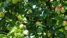 Взгляд лотка яблони видеоматериал