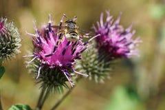 Взгляд макроса зада striped кавказский Megachile hymenoptera стоковые изображения rf