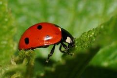 Взгляд макроса кавказского ladybug на пушистых зеленых лист стоковые фото