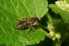 Взгляд макроса кавказской малой одичалой пчелы на зеленых лист в inflores Стоковые Изображения RF