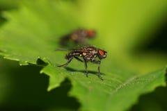Взгляд макроса меховой седой кавказской мухы на стороне стоковая фотография