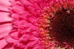 Взгляд макроса на розовом gerber фокус предпосылки глубокий изолированный над белизной поленики Стоковые Изображения