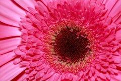 Взгляд макроса на розовом gerber фокус предпосылки глубокий изолированный над белизной поленики Стоковое Фото