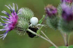 Взгляд макроса от фронта кавказского белого паука Misumena и yel стоковые фото