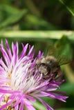 Взгляд макроса от фронта кавказского mellifera Apis пчелы  стоковая фотография rf