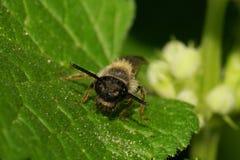 Взгляд макроса от фронта кавказской малой одичалой пчелы на зеленых лист Стоковые Изображения