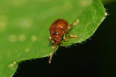 Взгляд макроса от фронта малого коричневого кавказского жука лист Стоковое Изображение RF