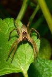 Взгляд макроса от фронта Arachnida пушистых паука сидя o стоковые фото