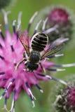 Взгляд макроса сверху кавказского Megachile leafworm пчелы rotund стоковая фотография rf
