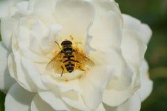 Взгляд макроса сверху кавказской мухы цветка hoverfly  стоковая фотография