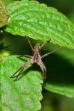 Взгляд макроса сверху Arachnida коричнев-серых волк-паука на a стоковое изображение rf