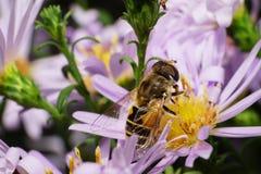 Взгляд макроса стороны и верхнего пушистого striped кавказского цветка a стоковая фотография rf