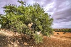 Взгляд Марокко, Fez-Marrakech шоссе 2 коз сидя в зеленом дереве в сельской местности, вдоль шоссе стоковое фото rf