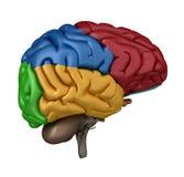 взгляд мозга боковой левый иллюстрация вектора