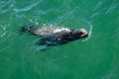 Взгляд морского льва sassy стоковое фото