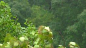 Взгляд на деревьях под проливным дождем и ветром Шторм в концепции северных регионов Концепция урагана акции видеоматериалы