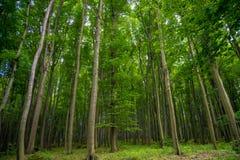 Взгляд на glade леса и роще сосны с мхом, с большими высокими хвойными деревьями на переднем плане и предпосылкой стоковое фото rf