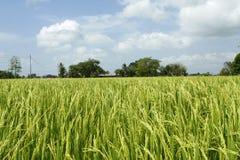 взгляд неочищенных рисов поля Стоковые Изображения RF