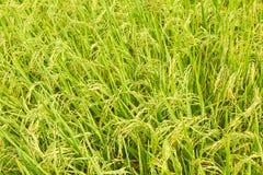 взгляд неочищенных рисов урожая надземный Стоковые Фото
