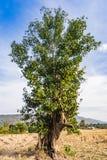 Взгляд низкого угла большого дерева в поле риса в солнечном da Стоковые Изображения