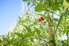 Взгляд низкого угла завода и красного цвета томата вишни приносить Стоковое фото RF