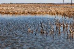 Взгляд от середины озера на воде в которой весна высушила желтые тростники отражен под ясным голубым небом снаружи стоковое фото rf