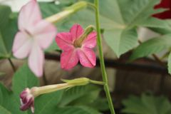 Взгляд пинка задний цветка Nicotiana Стоковые Фотографии RF