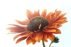 Взгляд под оранжевым солнцецветом стоковая фотография rf