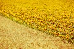 Взгляд полей хлопьев и солнцецветов Стоковые Изображения RF