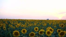 Взгляд поля вечера с зацветая солнцецветами сток-видео