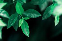 Взгляд природы крупного плана темных ых-зелен лист на солнечном свете Стоковое Изображение RF