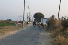 Взгляд проселочной дороги в Пенджабе, коровы и люди совместно Стоковые Фото