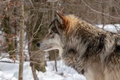 Взгляд профиля волка тимберса стоя в лесе стоковое изображение rf