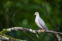 Взгляд профиля голубя на ветви дерева Стоковое Изображение