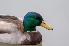 Взгляд профиля утки кряквы в озере стоковое изображение rf