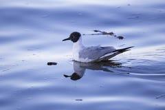 Взгляд профиля чайки Bonaparte плавая на спокойное открытое море Рекы Святого Лаврентия стоковая фотография