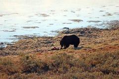 Взгляд раннего утра мужского гризли есть тушу оленя лося украденную от волков в национальном парке США Йеллоустон стоковая фотография rf