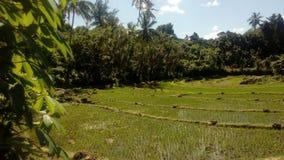 Взгляд рисовых полей в утре Стоковые Изображения