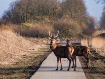 Взгляд рогачей красных оленей на камере Стоковое Изображение