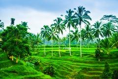 Взгляд романтичной и расслабляющей террасы поля риса в тропическом острове в Азии с деревьями и солнечным голубым небом стоковые фотографии rf