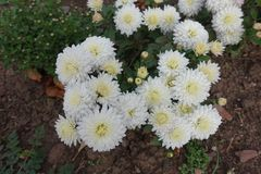 Взгляд сверху белых цветков хризантемы Стоковые Изображения RF