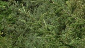 Взгляд сверху ветвей молодых деревьев Ветвь сосны с зелеными иглами Ветви зеленого цвета дерева лиственницы Хворостины и листья з сток-видео