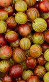 Взгляд сверху зеленого и красного плодоовощ крыжовника Стоковые Фотографии RF
