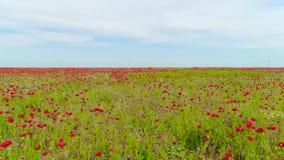 Взгляд сверху зеленого поля с красным маком на предпосылке неба r Светлый ветер пошатывает бутоны мака в горизонте поля достигая сток-видео