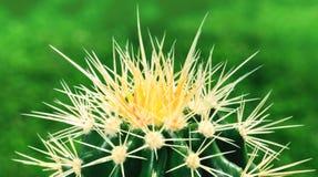 Взгляд сверху изумительного зеленого кактуса как предпосылка, конца вверх, natu Стоковое фото RF