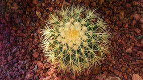 Взгляд сверху кактуса золотого бочонка, завода Echinocactus Grusonii Стоковые Изображения